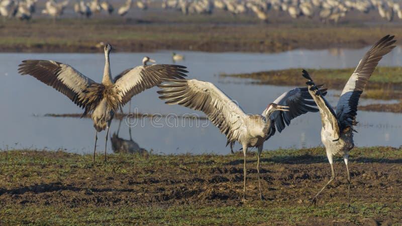 Dansende kranen Kraanvogel in Vogels Natuurlijke Habitat Vogelwaarneming in Hula-Vallei in noordelijk Isra?l Vogels die reizen va royalty-vrije stock afbeelding