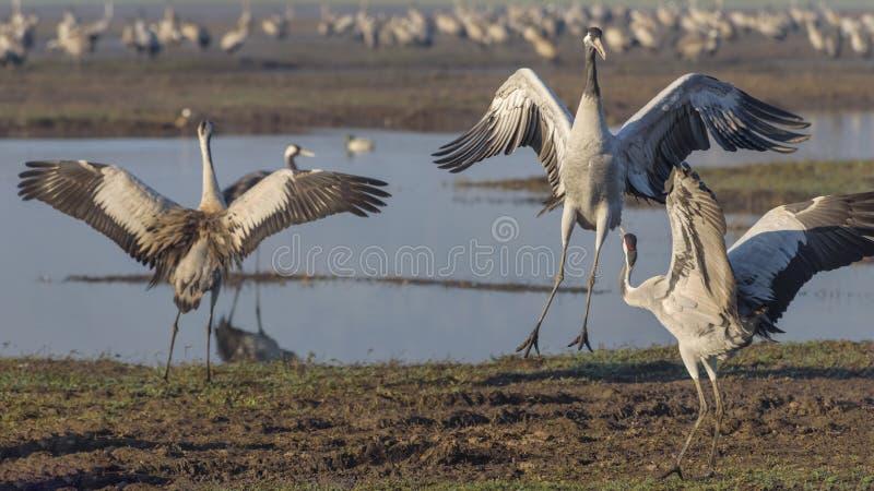 Dansende kranen Kraanvogel in Vogels Natuurlijke Habitat Vogelwaarneming in Hula-Vallei in noordelijk Isra?l royalty-vrije stock foto