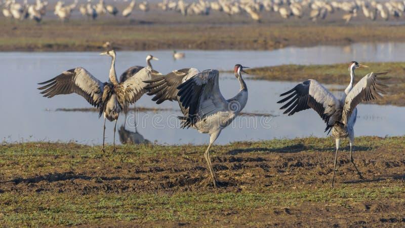 Dansende kranen Kraanvogel in Vogels Natuurlijke Habitat Vogelwaarneming in Hula-Vallei in noordelijk Isra?l Troepen van migreren stock fotografie