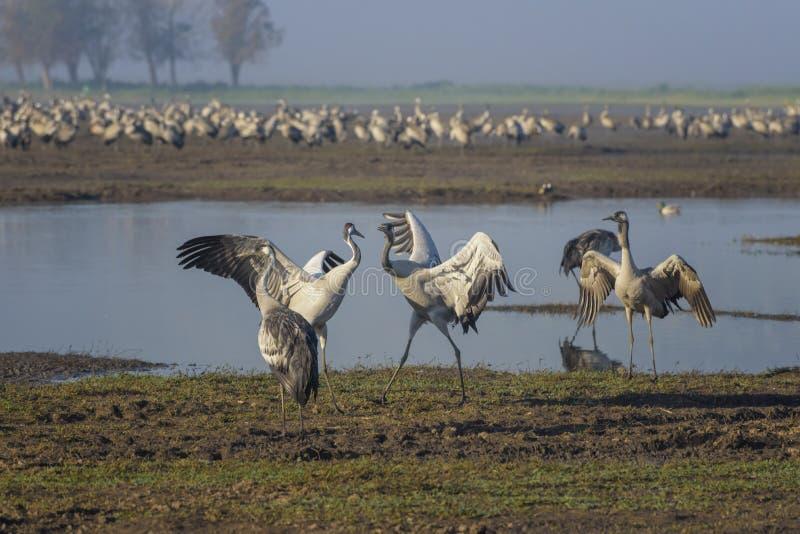 Dansende kranen Kraanvogels in een natuurlijke vogelhabitat Vogelobservatie in de Hula-Vallei bij zonsopgang in Israël Het landsc royalty-vrije stock fotografie