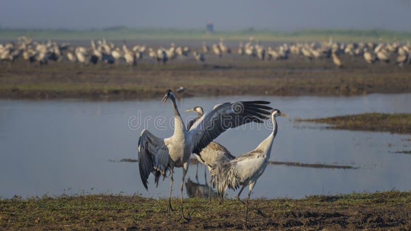 Dansende kranen Kraanvogels in natuurlijke vogelhabitat Vogelobservatie in de Hula-Vallei bij zonsopgang in Isra?l Het landschap  stock afbeelding