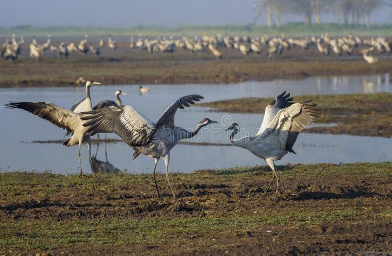 Dansende kranen Kraanvogels in Vogels Natuurlijke Habitat Vogelwaarneming in Hula-Vallei Het landschap van de aard royalty-vrije stock afbeelding