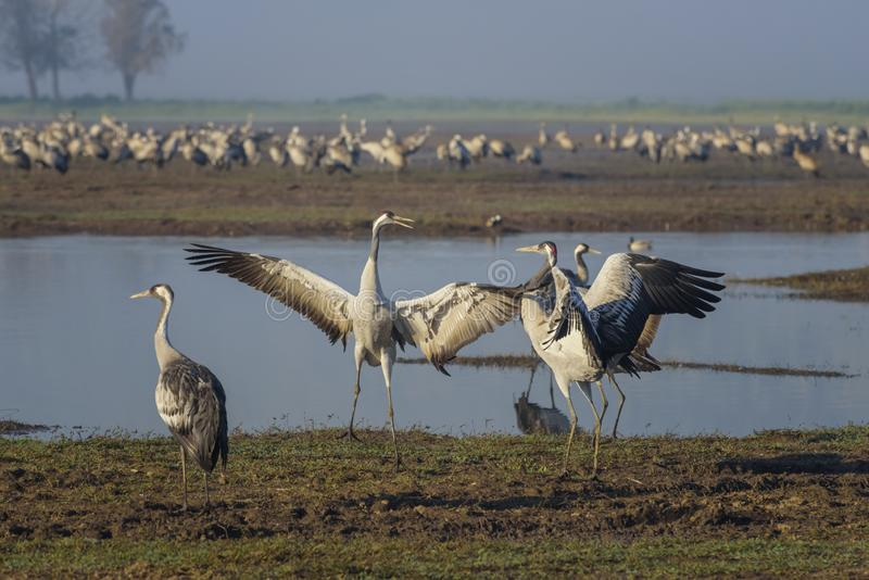 Dansende kranen Kraanvogels in Vogels Natuurlijke Habitat Vogelwaarneming in Hula-Vallei, Natuurreservaat Het landschap van de aa stock afbeelding