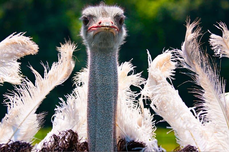 Dansende struisvogel het koppelen dansclose-up royalty-vrije stock fotografie