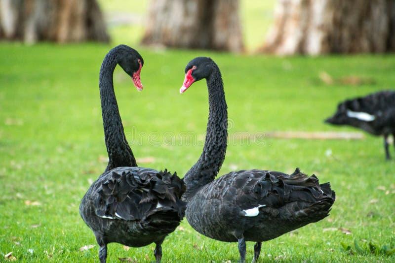 Dansende zwarte zwanen royalty-vrije stock afbeeldingen