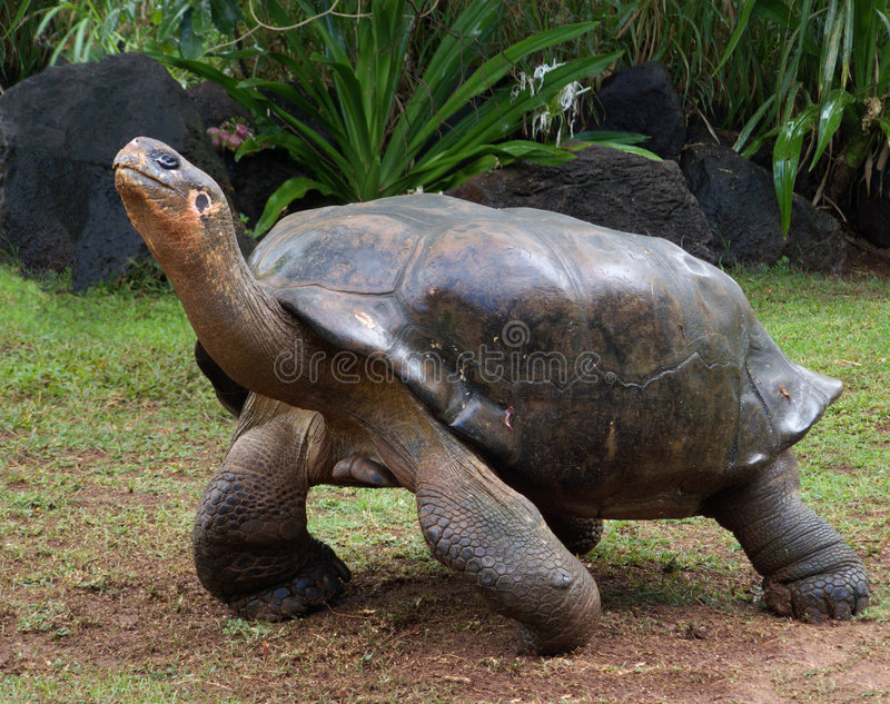Danseur de Galapagos photo libre de droits