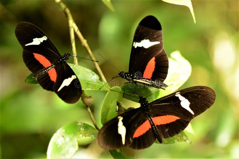 Dansfjärilar arkivbilder