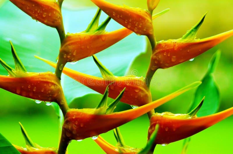 dansheliconia royaltyfri bild