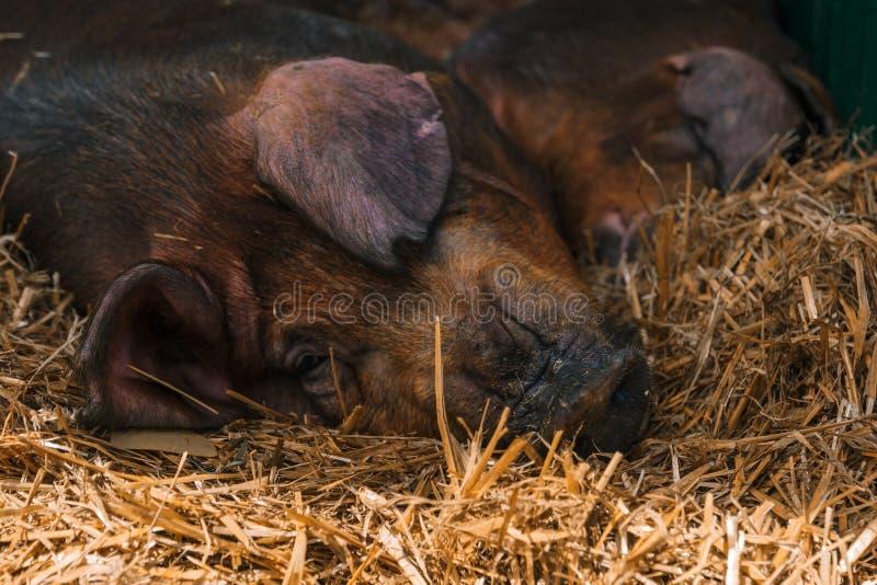 Danska durotiska svin som sover i pennan på boskapsgården royaltyfri foto