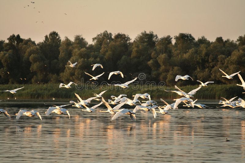 Danube Delta. Landscape with white flying swans royalty free stock photos
