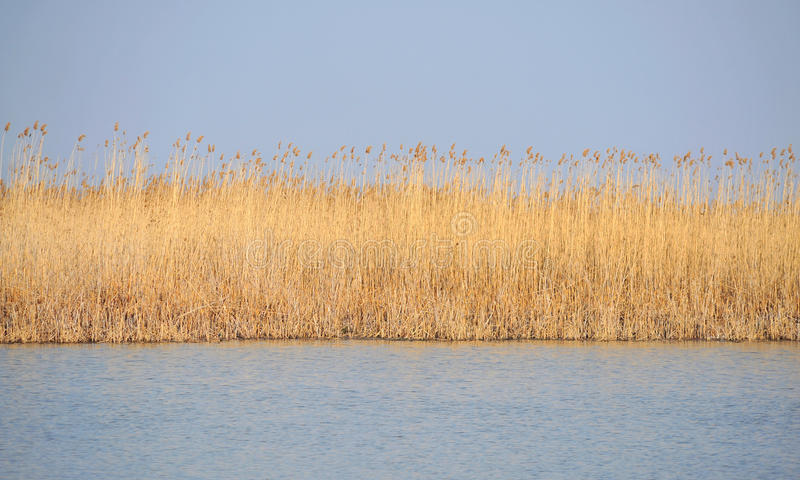 Download Danube delta reed stock photo. Image of vulva, natural - 24018954