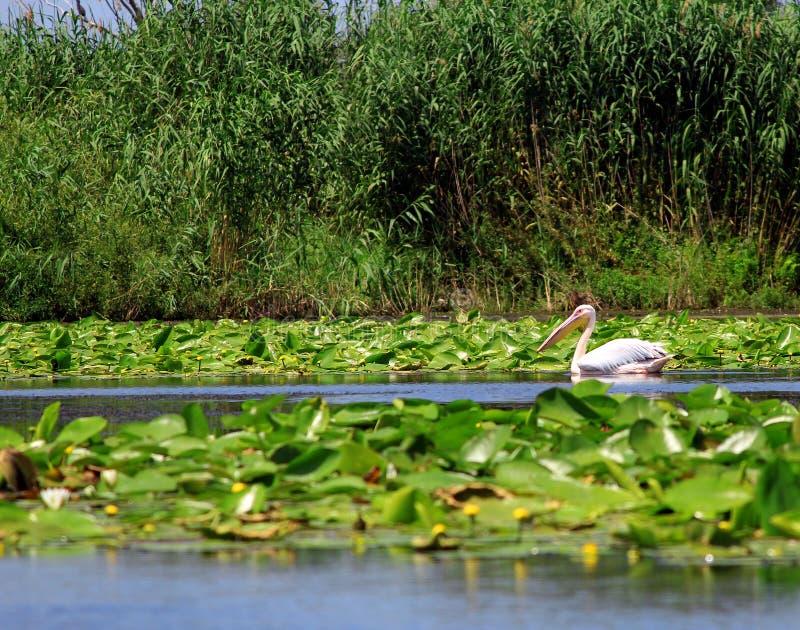 danube delta Romania fotografia stock