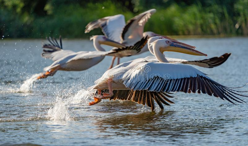 Danube Delta, Romania. The Great White Pelican flying over water royalty free stock images