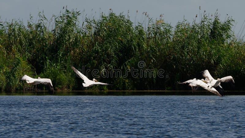 danube delty pelikany zdjęcie stock