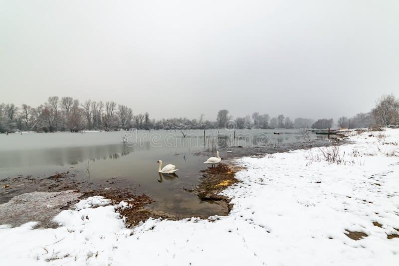 Danube island Šodroš near Novi Sad, Serbia. Colorful landscape with swans and beautiful frozen river. royalty free stock images