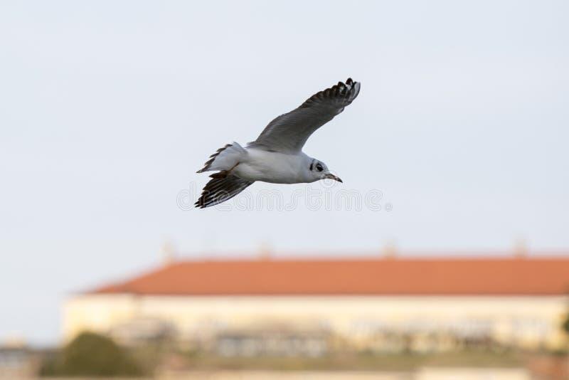 Danube River Seagulls flying across Petrovaradin Fortress stock photo