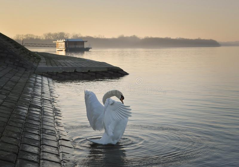 Danube river swan in stretching wings. Moments on the Belgrade river side on a sunset lights ...in a last years searching for food wild swans become domestic royalty free stock photography