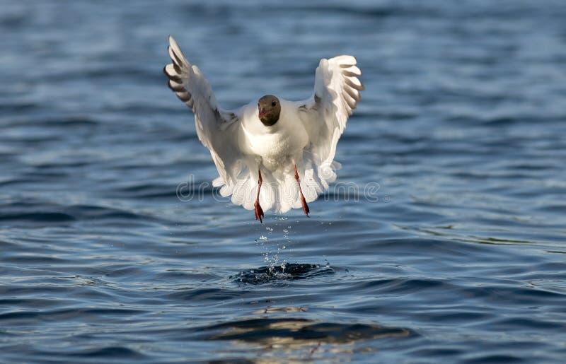 Danza del pájaro fotografía de archivo libre de regalías