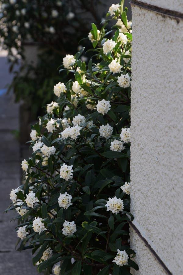 daphne royaltyfri fotografi