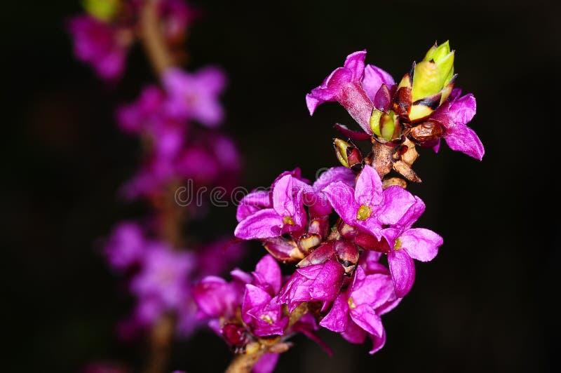 Daphne di fioritura immagine stock