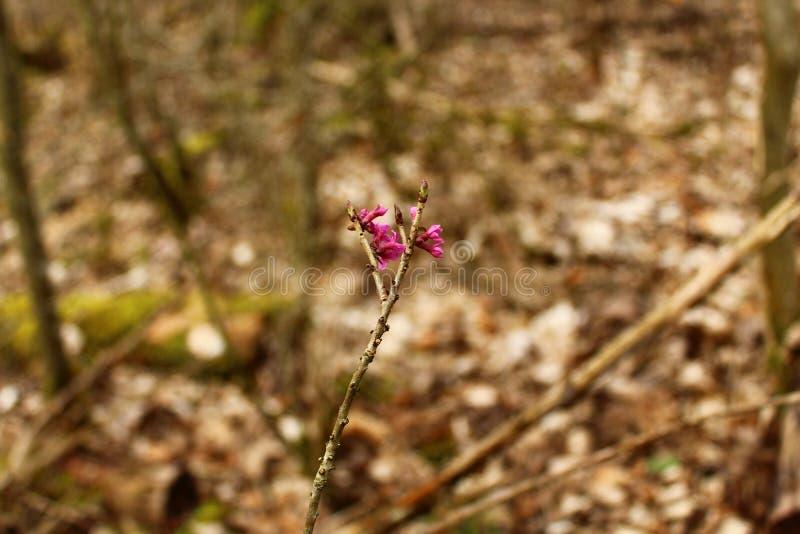 Daphne nella foresta fotografia stock