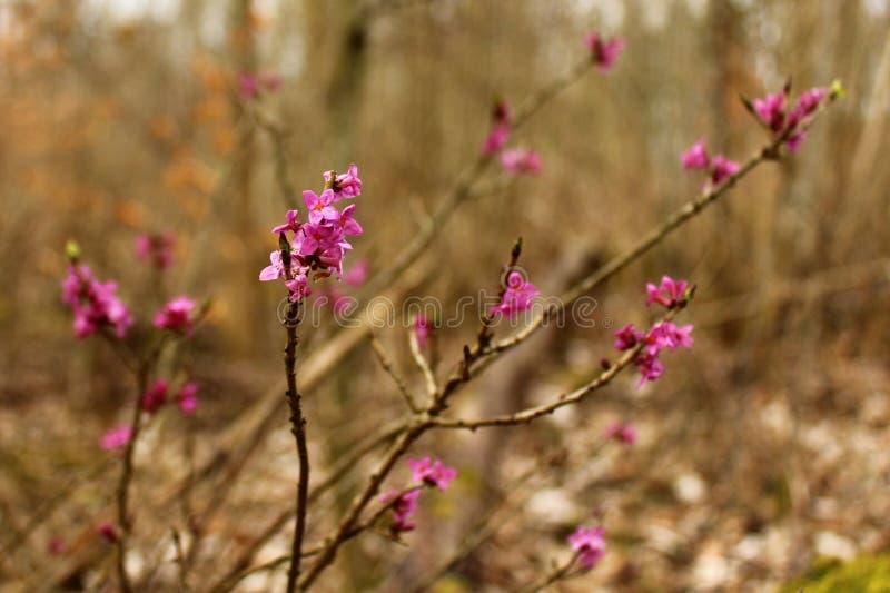 Daphne nella foresta fotografie stock