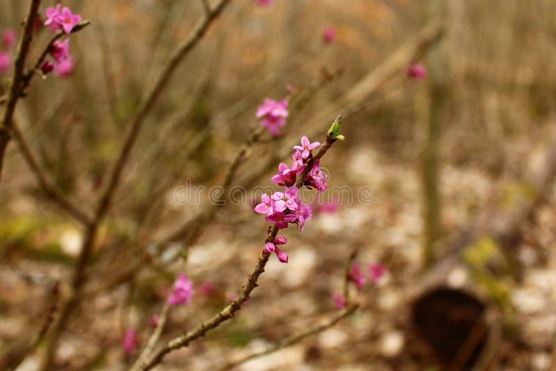 Daphne nella foresta immagini stock