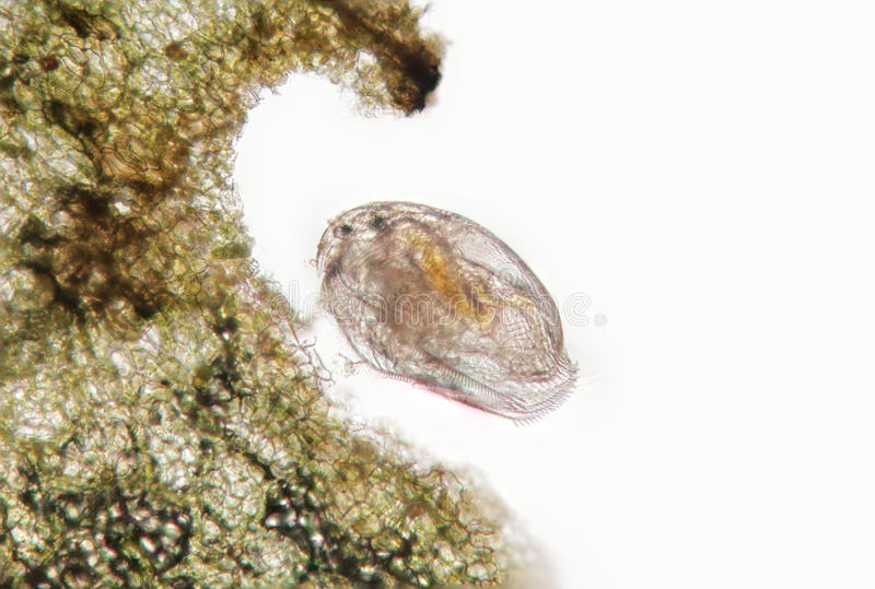 Daphnia Pleuroxus uncinatus, freshwater planktonic crustacean. Freshwater daphnia probably Pleuroxus uncinatus near the algae, planktonic crustacean by stock photography