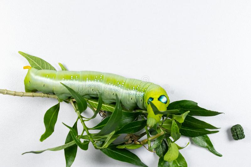Daphnis nerii, Pupa Stage ou Chrysalis Stage imagens de stock royalty free