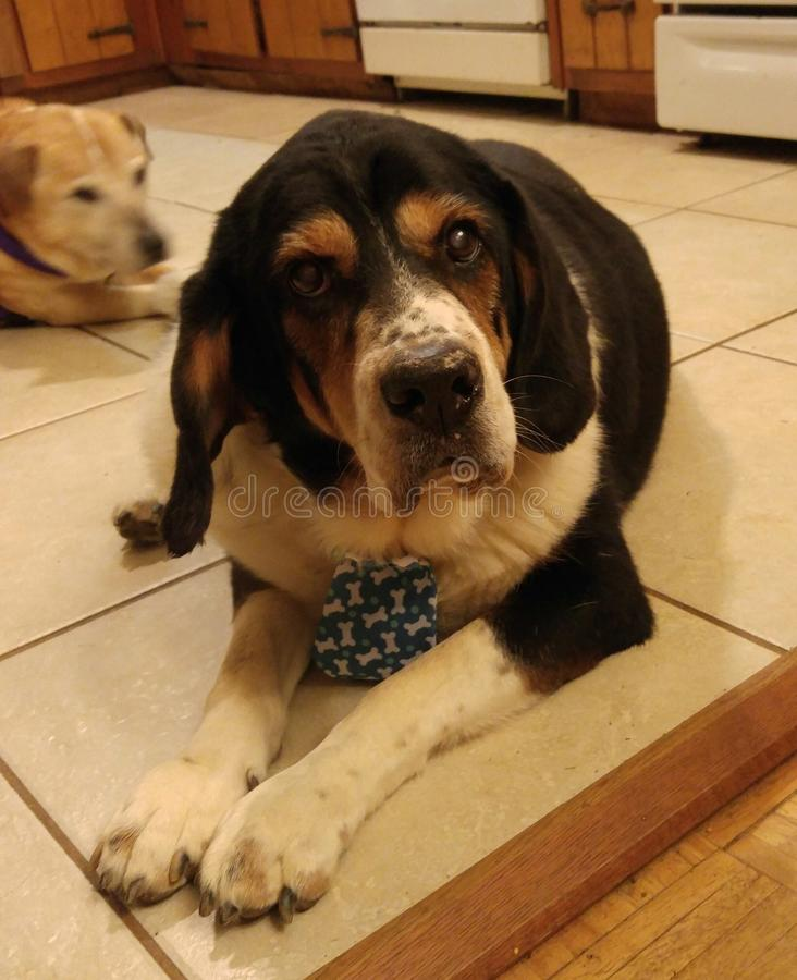 Dapper dog. Meet Buddha. He& x27;s the giant droopy mixed breed that will steal your heart . He& x27;s Bassett hound and Bernese mountain dog with some golden royalty free stock photography