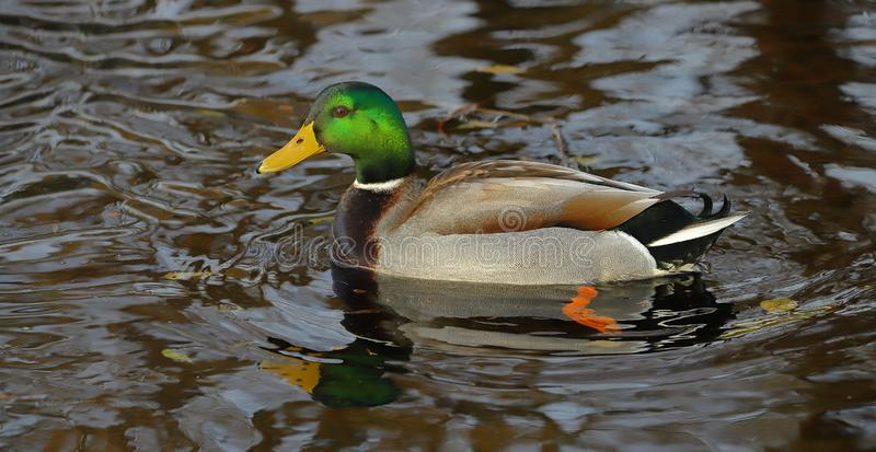 The dapper Mallard Duck. This Beautiful male Mallard was swimming on the local river on a autumn morning. The colors of the mallard were vivid and the bright royalty free stock photo