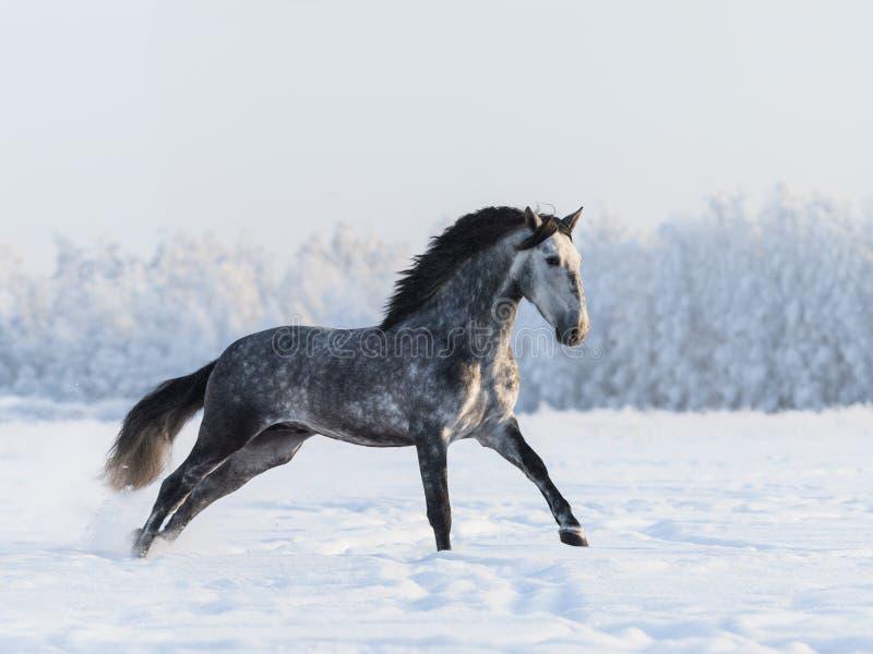 Dapple-серая лошадь скакать на поле на зимнем времени стоковые фото