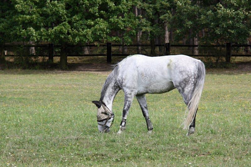 Dapple-серая лошадь с затеняемыми глазами на луге, чехии, Европе стоковые изображения rf