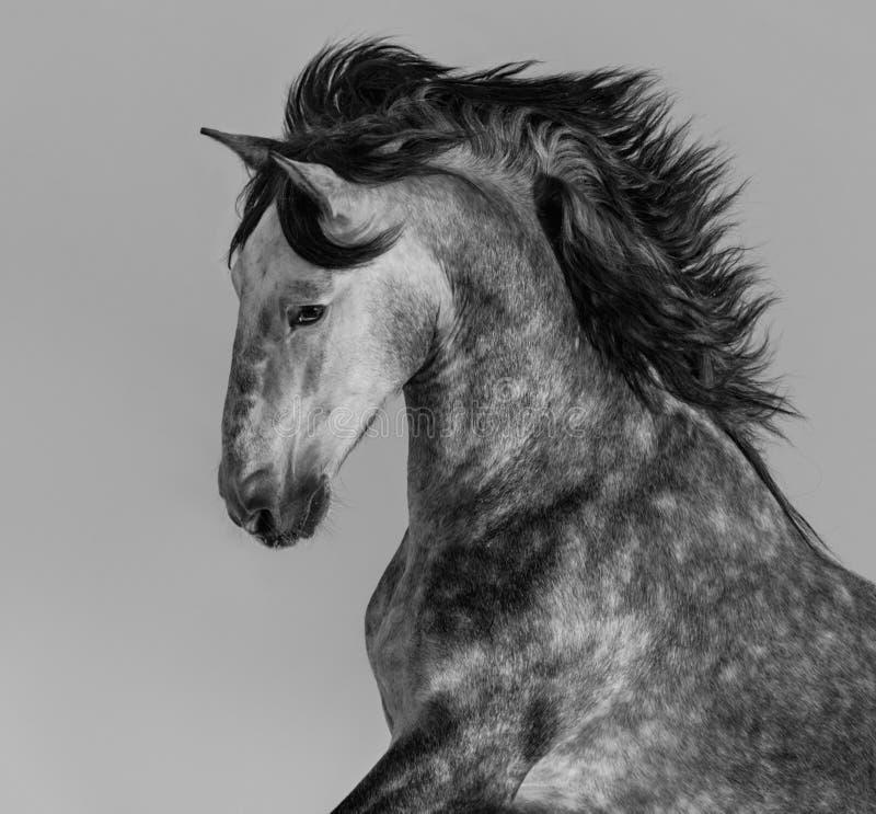 Dapple-серый андалузский жеребец - портрет в движении стоковые фото
