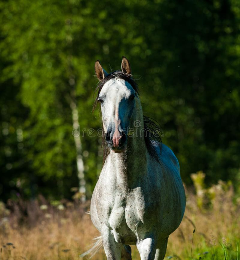 Dapple gray arab stallion stock photos