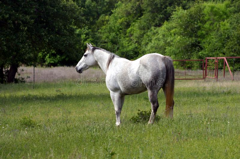 Dapple Gray Mare Free Stock Images