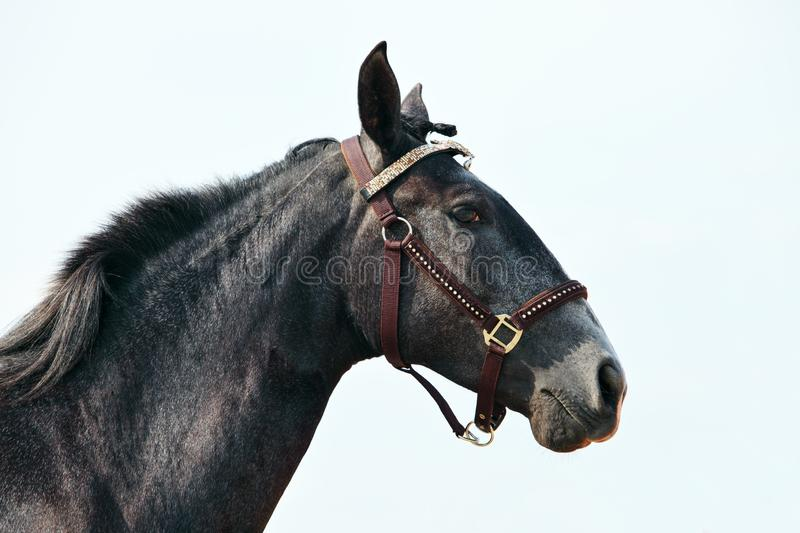 Dapple-grey Andalusian horse portrait on sky background stock photography