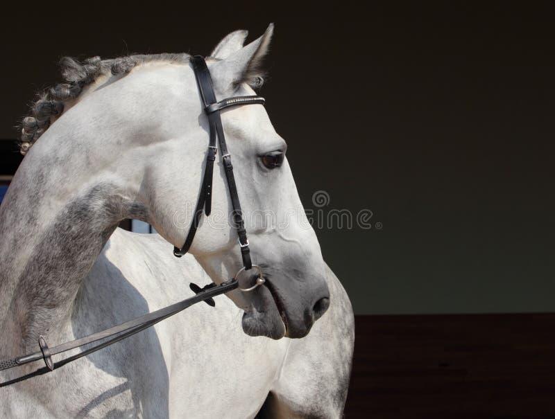 Dapple-grey Andalusian horse portrait stock photos