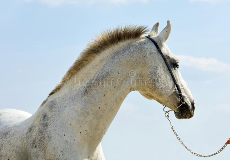 Dapple-grey Andalusian horse portrait. Near the stable at the rest stock photo