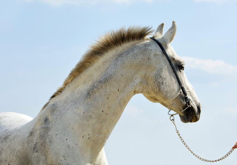 Dapple-grey Andalusian horse portrait stock photo