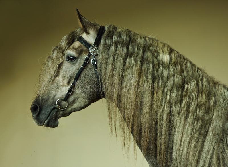 Dapple-grey Andalusian horse portrait stock photography