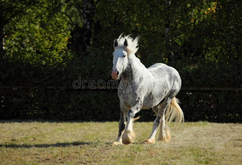 Beautiful dapple grey horse running on the field. Dapple grey draft horse playing in the green grass paddock stock photography