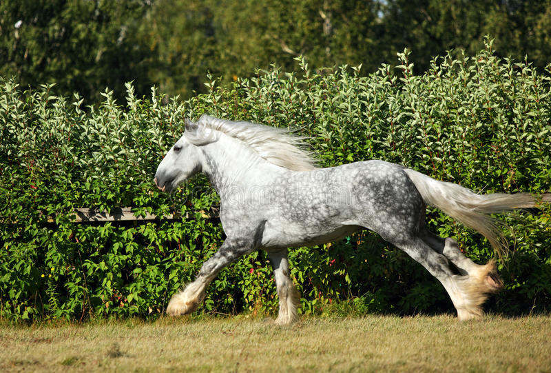 Dapple grey drum horse stallion runs gallop on meadow stock image