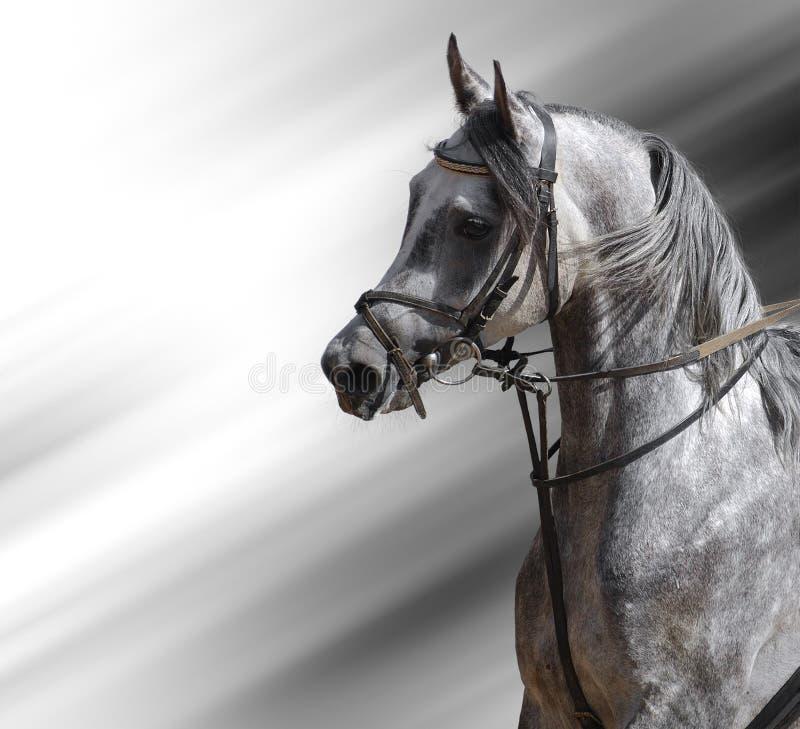 Dapple-grey Horse (arabian) Royalty Free Stock Photography