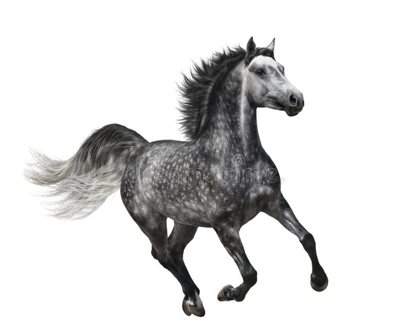 Dapple-grey horse in motion - isolated on white stock photography