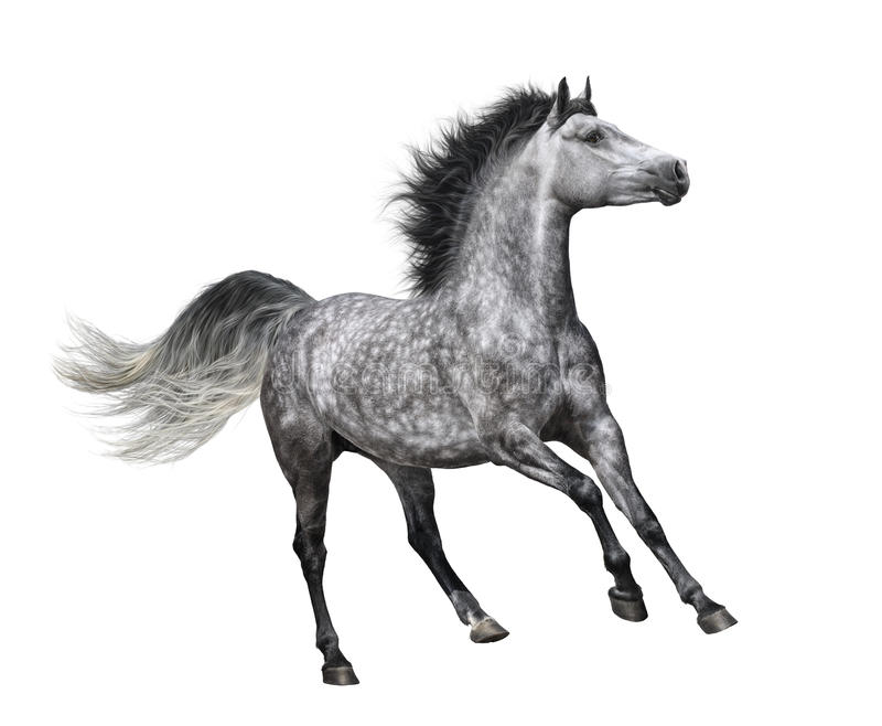 Dapple-grey horse in motion on white background royalty free stock photo
