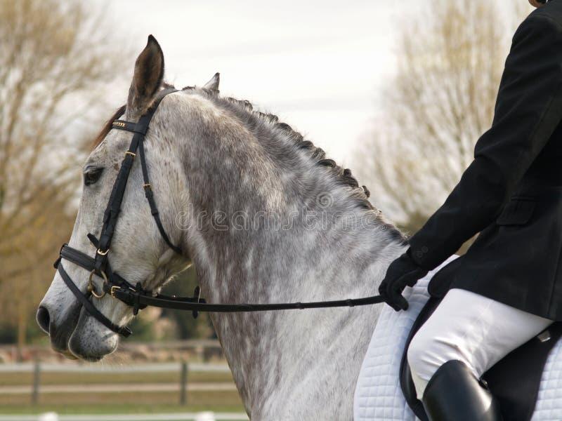 Dapple O Cavalo Do Dressage Fotos de Stock