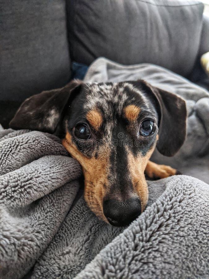 Dappled Daschund Dog in Blanket stockbilder