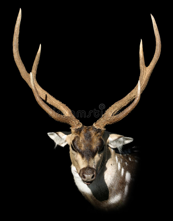 Download Dappled deer stock image. Image of nature, isolated, snout - 2237097