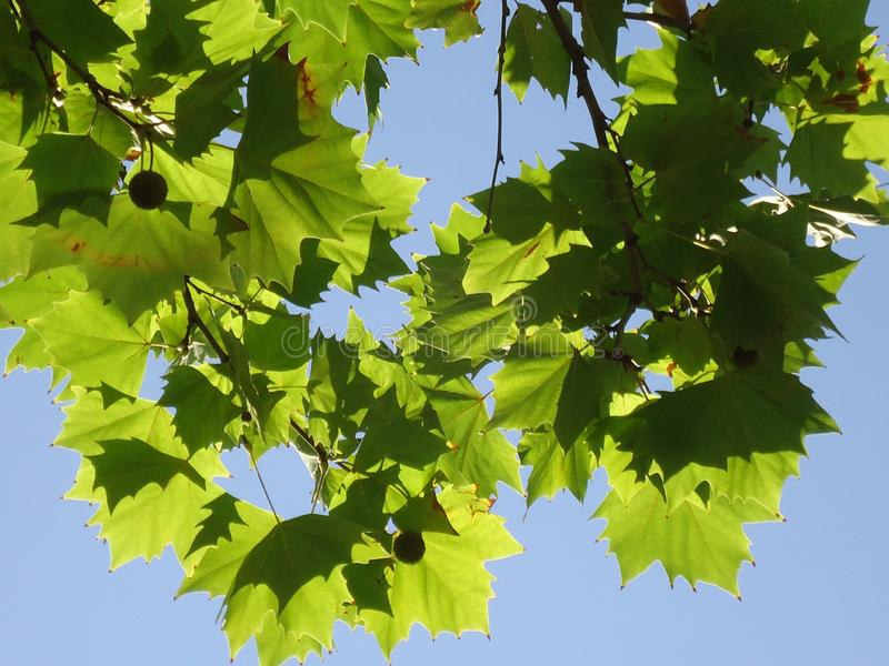 Dappled green leaves stock photo. Image of leaves, green - 168594638